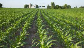corn-farm